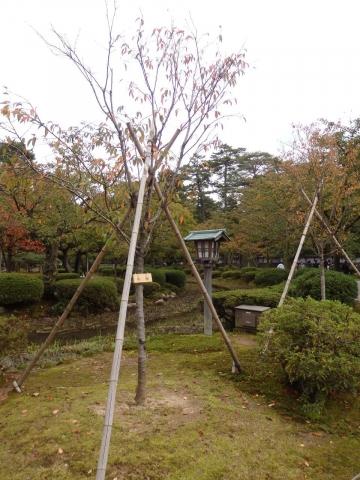 fuyuzakura_PA141386.jpg
