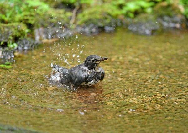 クロツグミ若水浴び4 DSG_1406
