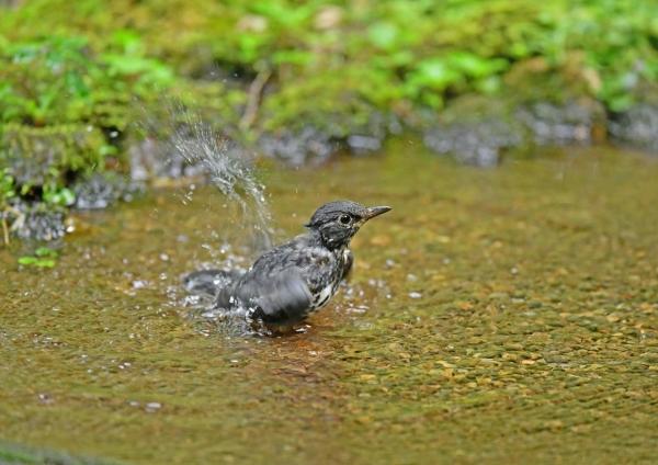 クロツグミ若水浴び5 DSG_1422