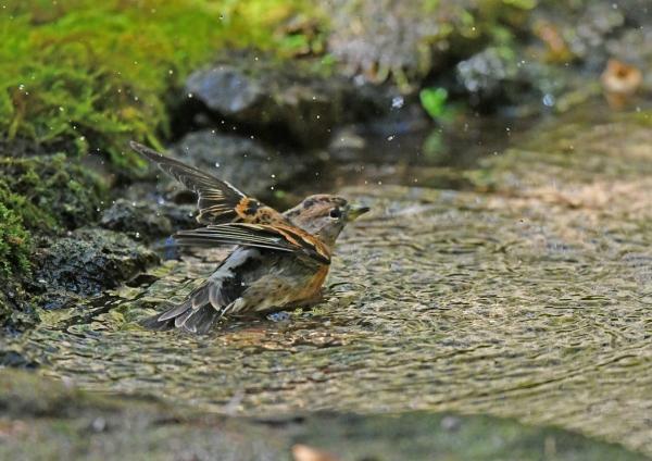 アトリ5水浴び DSF_4879