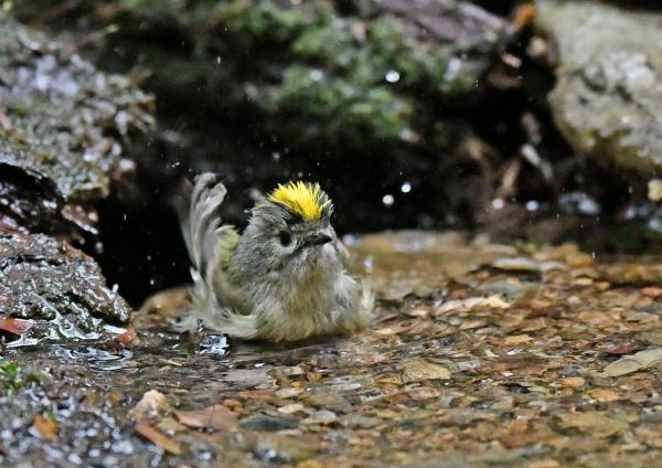 キクイタダキ水浴び4 DSF_2470