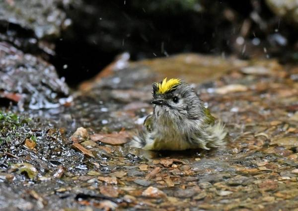 キクイタダキ水浴び5 DSF_2560