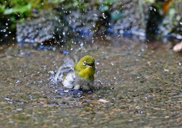 メジロ2水浴び DSF_1814