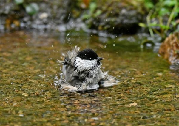 コガラ5水浴び DSG_6995