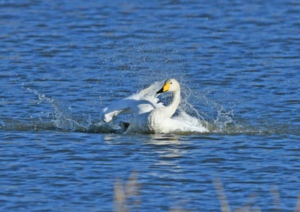 オオハクチョウ水浴び1 DSH_4430