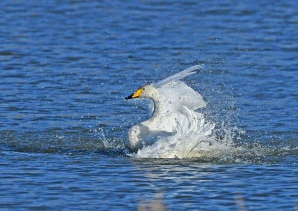 オオハクチョウ水浴び3 DSH_4438