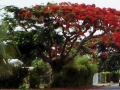 Spathodea or African tuliptree in Port Vila
