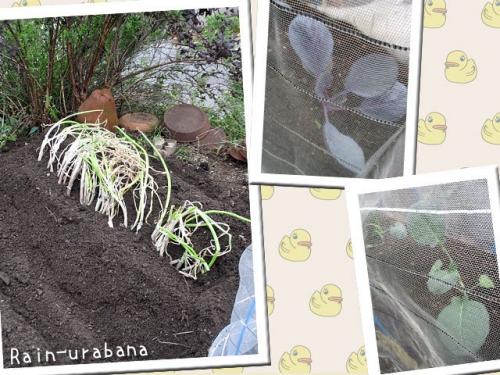 ネギもようやく植られました (^ ^V