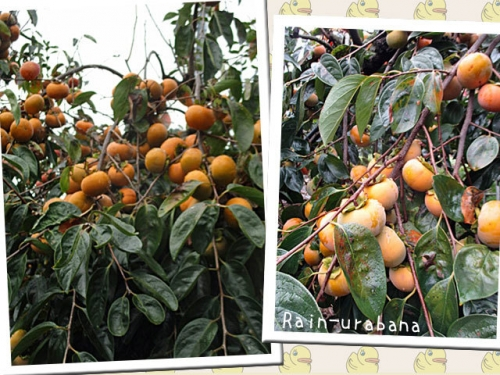 柿の季節です f(^ ^;