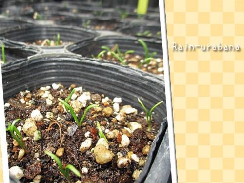ホウレンソウの芽が出た (^ ^V
