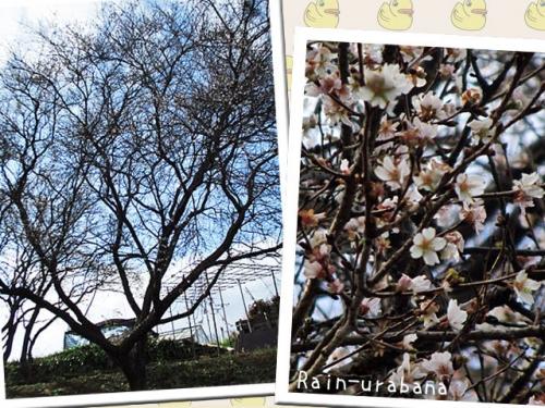 冬桜かなぁ~
