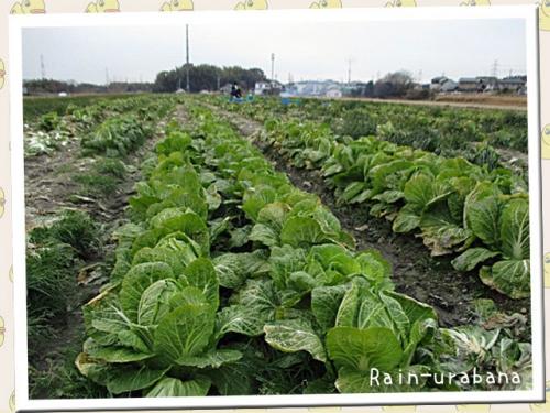 白菜の収穫に参上!