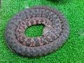 snake coil2