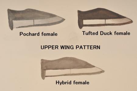 wing-pattern