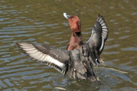 wingflap