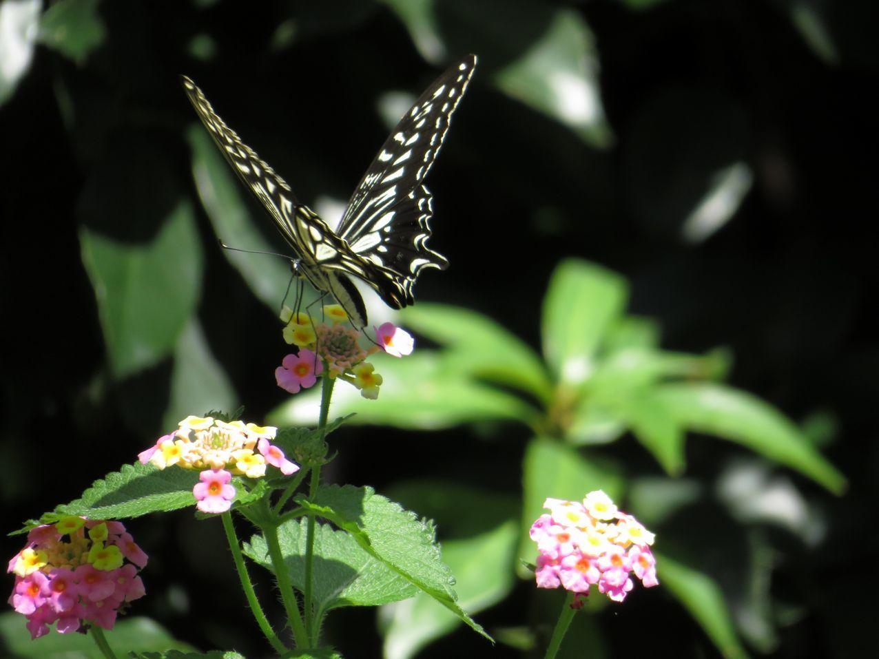 蝶とランタナ