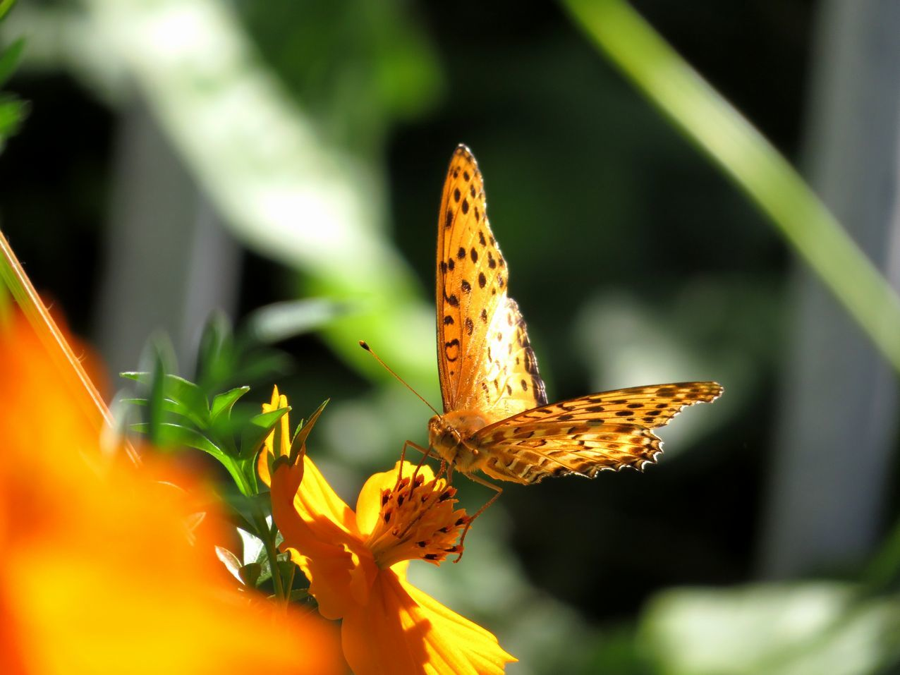 蝶と黄花コスモス