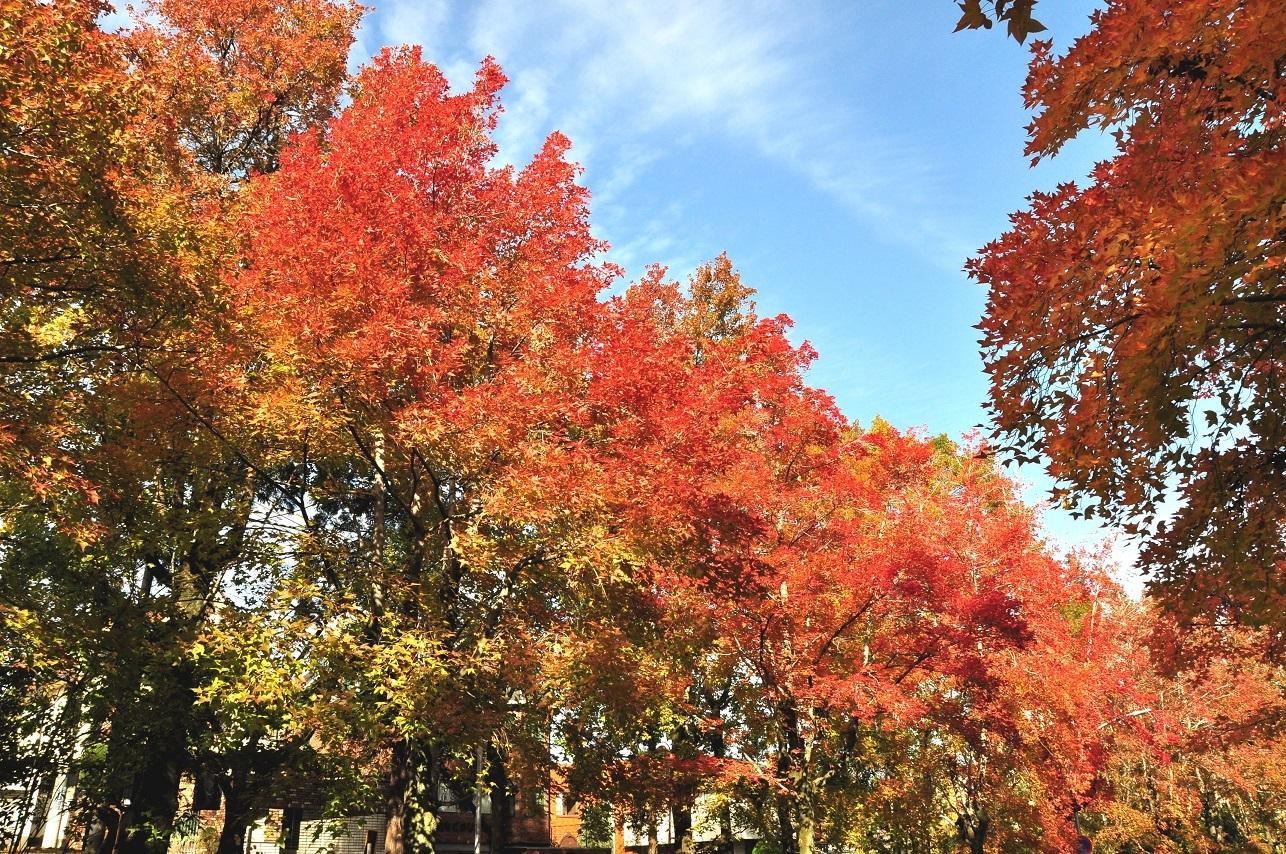 ⑧三色彩道の色づいた並木