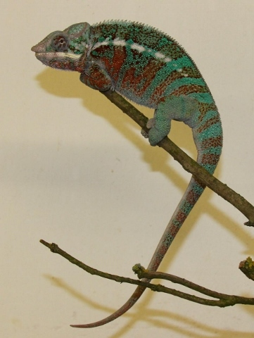 Furcifer pardalis - october-1 (361x480)