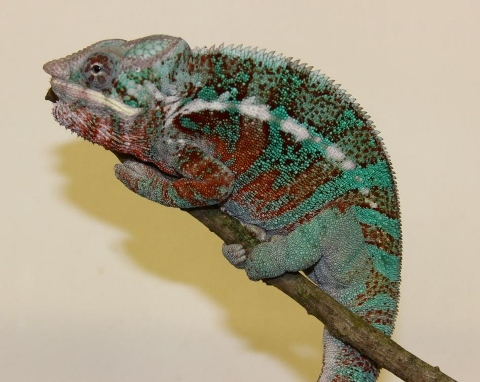 Furcifer pardalis - october1-2 (480x382)