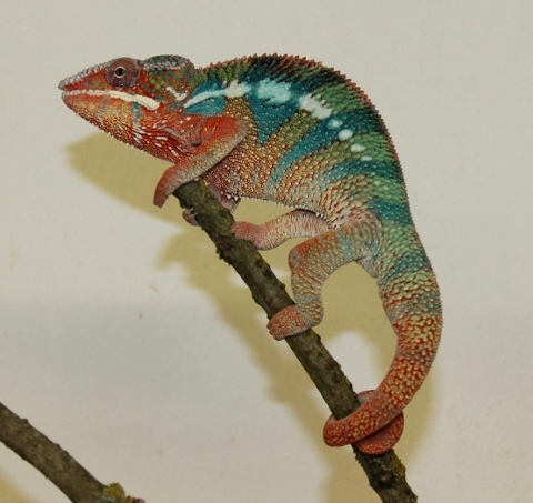 Furcifer pardalis - october2 (480x453)