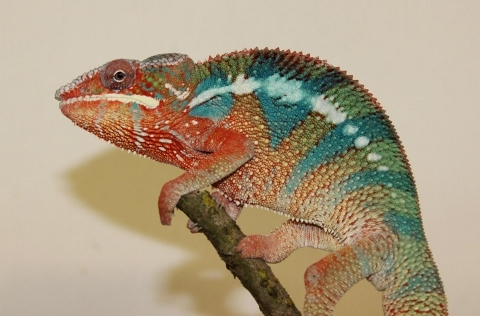 Furcifer pardalis - october2-2 (480x316)