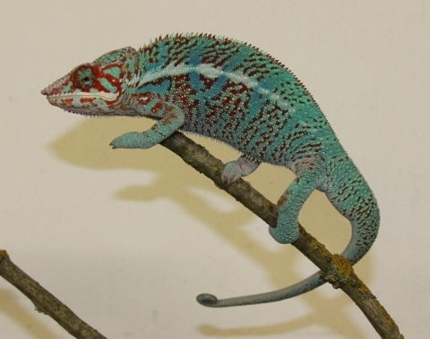 Furcifer pardalis - october3 (480x379)