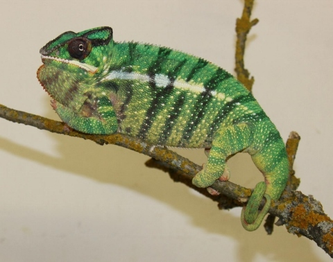 Furcifer pardalis - october4 (480x378)