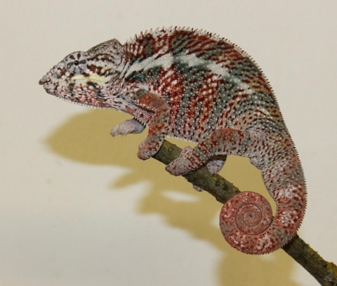 Furcifer pardalis - october10 (480x407)