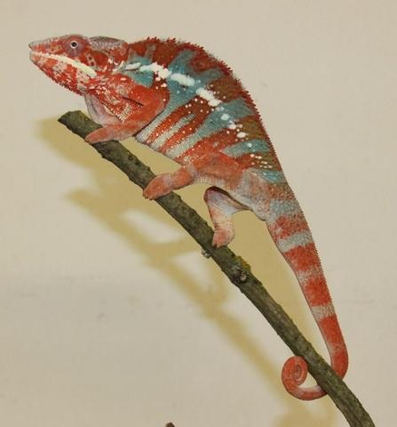 Furcifer pardalis - october13 (447x480)