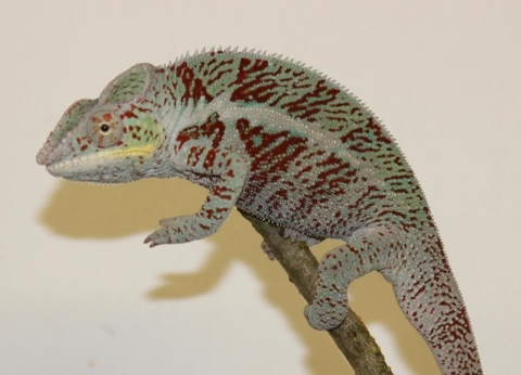 Furcifer pardalis - october16-2 (480x346)