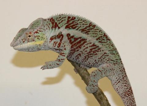 Furcifer pardalis - october16-2 (480x346)