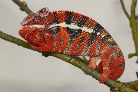Furcifer pardalis - october19 (480x319)