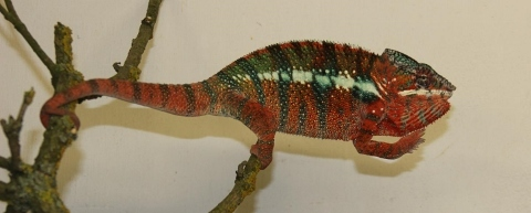Furcifer pardalis - october20 (480x193)