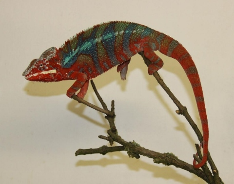 Furcifer pardalis - october21 (480x379)