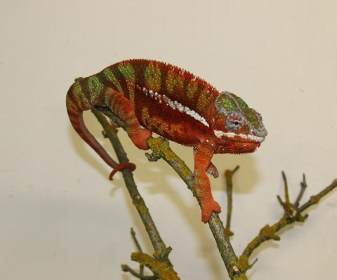 Furcifer pardalis - october22 (480x399)