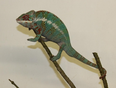 Furcifer pardalis - october24 (480x367)