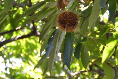 クリの木の見分け方