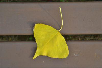 ナンキンハゼの黄色い葉