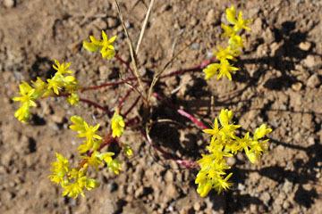 blog 43 Auburn to Weeds on 5N, Mt. Lassen 134E, Sedum, CA_DSC0017-4.25.16.(2).jpg