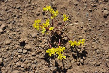 blog 43 Auburn to Weeds on 5N, Mt. Lassen 134E, Sedum, CA_DSC0016-4.25.16.(2).jpg