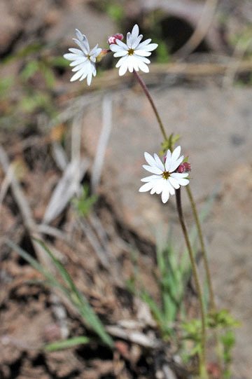 blog 46 Prineville, Ochoco NF, Woodland Star, OR 2_DSC0341-4.30.16.(1).jpg