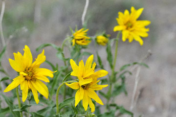 blog 47 Prineville, John Day Fossil Bed NM, Painted Hills Unit, Cusick's Sunflower (Helianthus cusickii), OR 2_DSC0498-4.30.16.(2).jpg