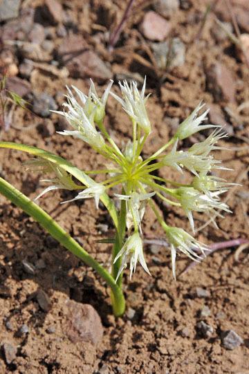 blog 47 Prineville, John Day Fossil Bed NM, Allium, OR 2_DSC0517-4.30.16.(2).jpg