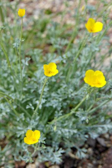 blog 13 95S-178W, Shoshone to Badwater, Pygmy Poppy, CA 2_DSC7285-3.31.17.jpg