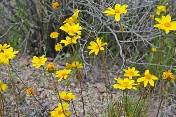 blog 13 95S-178W, Shoshone to Badwater, California Coreopsis, CA_DSC7302-3.31.17.jpg