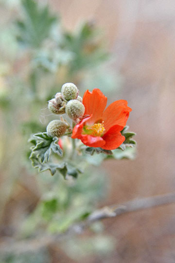 blog 47 Prineville, John Day Fossil Bed NM, Painted Hills Unit, Orange Globe Mallow (Sphaeralcea munroana), OR_DSC0534-4.30.16.(2).jpg