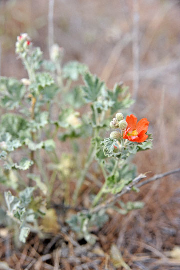 blog 47 Prineville, John Day Fossil Bed NM, Painted Hills Unit, Orange Globe Mallow (Sphaeralcea munroana), OR_DSC0531-4.30.16.(2).jpg