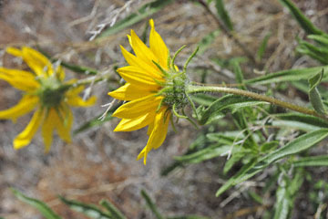 blog 47 Prineville, John Day Fossil Bed NM, Painted Hills Unit, Cusick's Sunflower (Helianthus cusickii), OR_DSC0540-4.30.16.(2).jpg