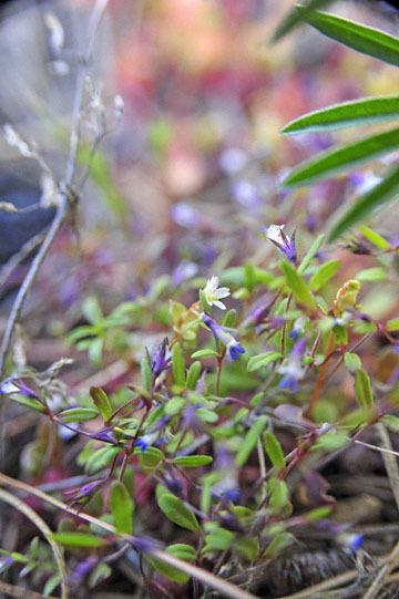 blog 47 Prineville, Ochoco NF, Maiden Blue Eyed Mary (Collinsia parviflora)_DSC0552-4.30.16.(2).jpg